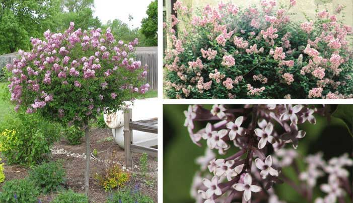Trees shrubs bison nursery for Flowering dwarf trees for landscaping