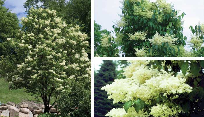 Trees shrubs bison nursery ivory silk lilac mightylinksfo